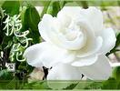 快乐栀子花