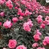 茉莉红树林